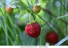 Find Fresh Red Fragaria Wild Strawberry Green stock images in HD and millions of other royalty-free stock photos, illustrations and vectors in the Shutterstock collection. Thousands of new, high-quality pictures added every day. Wild Strawberries, Fruit Garden, Vectors, Photo Editing, Strawberry, Royalty Free Stock Photos, Illustrations, Fresh, Pictures