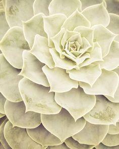 Succulent Silver Plant Photo, 8x10 // Nature Photography, Home Décor, Fine Art Photograph, Tropical Plants, Blue, Symmetry