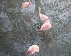 Colchester Zoo Colchester Zoo, Bird Facts, Flamingo Bird, Pictures, Animals, Photos, Flamingo, Animales, Animaux