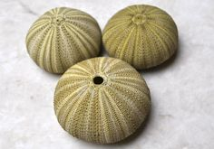 Green Sea Urchins 3 pcs.  appx. 2  Salmacis by seashellmart
