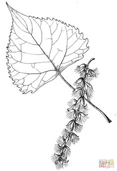 Cottonwood Tree Leaf Coloring Page From Category Select 30465 Printable Crafts Of Cartoons Nature Animals Bible And Many More