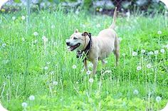 Media, PA - Australian Cattle Dog/American Staffordshire Terrier Mix. Meet Mrs. Buttersworth 'Sponsored!, a dog for adoption. http://www.adoptapet.com/pet/10923396-media-pennsylvania-australian-cattle-dog-mix