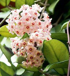 A flor-de-cera é fácil de manter, mas deixe-a longe de correntes de ar. Escala treliças e grades, desde que tutorada com fios de náilon. Exige meia-sombra ou intensa iluminação difusa - o sol direto pode queimar as folhas. Floresce na primavera: forma buquês carregados de flores cerosas
