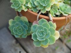 The hearty and sturdy succulent - looking extremely soft and pleasing. A few drops of water in still the petals from the early morning rain. Morning Rain, Early Morning, My Secret Garden, Succulents, Water, Flowers, Plants, Water Water, Aqua