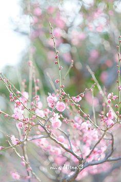 岡田 美濃さんのお写真です。 柔らかい優しいピンクの梅。 後ろの玉ボケもかわいらしいですね♪