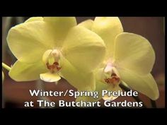 Winter and Spring Prelude at The Butchart Gardens