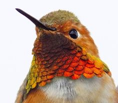 Verne Nelson  Allen's Hummingbird  Oyster Bay RP, San Leandro, CA