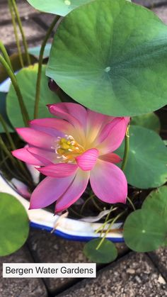 We are offering special price for lotus season - Modern Beautiful Flowers Photos, Unusual Flowers, Amazing Flowers, Beautiful Roses, Pretty Flowers, Indoor Flowers, Water Flowers, Flowers Nature, Lotus Flowers