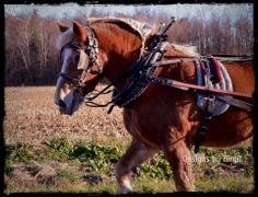 King of the road! This is my project horse - a Belgian from down the street. His name is King.