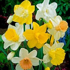 Trumpet Daffodil Bulbs Mix from American Meadows, your trusted source for Daffodil Flower Bulbs.  We offer gardeners guaranteed Trumpet Daffodil Bulbs Mix and all the information and confidence needed to succeed.