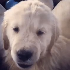 New trendy GIF/ Giphy. puppy. Let like/ repin/ follow @cutephonecases