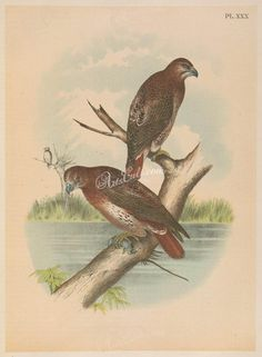 030-Red-tailed Hawk      ...