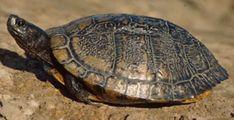 Article about the Florida Turtle Tunnel aka Lake Jackson Ecopassage Lake Jackson, Florida State University, Historical Sites, Great Places, Turtle, Turtles, Tortoise