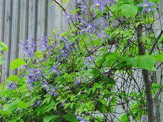 Klematis är en fantastik klätterväxt med små odlingskrav. Så här beskär man olika sorter till blommande gardiner.