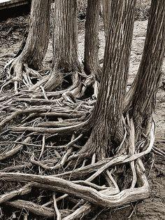 ˚Cedar Roots