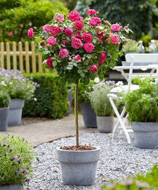 The classic red rose, fragrant and beautiful. Planter Rosier, Standard Roses, Decoration Plante, Rose Trees, Potted Trees, Wonderful Flowers, Rose Bush, Plastic Pots, Spray Roses