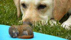 Dog Patiently Watches Over Baby Squirrel As He Sleeps
