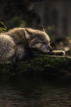 2018/01/09 Wolf - tect0nic: Sleeping where the waters flow by Michael Rehbein via 500px