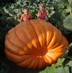 pumpkin seeds 25 dill 39 s atlantic giant pumpkin seeds 1500 pound. Black Bedroom Furniture Sets. Home Design Ideas