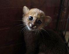 Yaguarundí en peligro de extinción (© REUTERS/Oswaldo Rivas)
