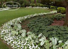 A great mix of perennial hosta with caladiums and impatiens. Use white and variagated foliage to create light in shaded areas.