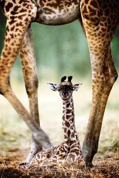 baby giraffe with mom