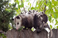 Oh, the Possums are just driving me crazy this year! Getting into everything, they've even gotten into the walls of the house...  Arrgh!  ~~ Houston Foodlovers Book Club