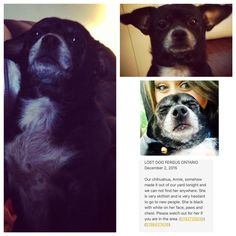 Lost Dog - Chihuahua Short Haired - Fergus, ON, Canada N1M 1K9