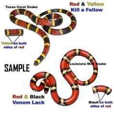 Texas Coral Snake... red & yellow... kill a fellow..... (red & black venom lack)