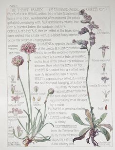 1910 Botanical Print by H. Isabel Adams: Thrift Family, Common Thrift, Sea-pink, Sea Lavender