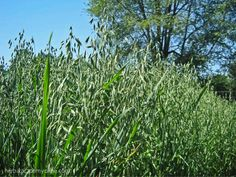 Would you like to grow oats in your own garden? Spring is the time to sow your oats – literally!