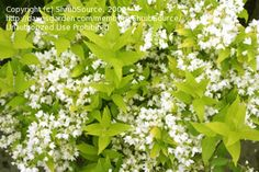 Deutzia gracilis 'Duncan' Chardonnay Pearls® is a totally new look for an old garden favorite. Its attractive, crisp, lime-yellow, sunny burn resistant foliage provides season long garden color. In the spring numerous pearl-like buds explode into a shower of fragrant pure white star-shaped flowers. This strong growing compact shrub fits easily into the perennial garden or at the front of the shrub border. Nice contrast plant, use it with plants that that have dark green or purple foliage.