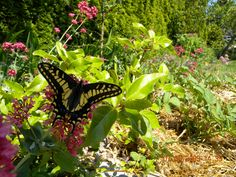 A swallowtail butterfly in our garden