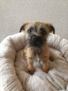 """Border Terrier puppy and yep I really will stay just as good at the """" what sweet innocent little old me"""" look! Usually with a pile of """"dead"""" stuffed animal around me!"""