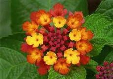 گل شاهپسند ، shrub verbenas / سمی برای گربه