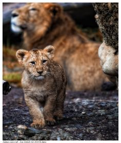 Indian Lion Cub 3 by Reto on DeviantArt