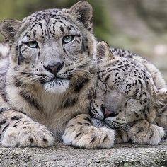 Snow Leopard Photo by ©Daniel Münger #WildlifeFriend