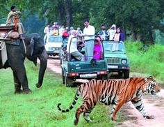 Greenchiliholidays.com provides complete information on Wildlife Tour Packages for wildlife national parks in India and wildlife Sanctuary in India. Our on-line reservation system for Wildlife Tours in India on discounted rates, car/taxi/coach hire for travel to wildlife sanctuary. Jim Corbett National Park, Ranthambore National Park, Kanha National Park are most popular destination for Wildlife Tour in India.
