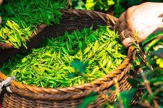 Výzkumy ukazují, že zelený čaj dokáže ničit rakovinné buňky v dutině ústní