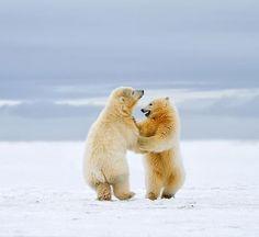 Polar Bear Cubs in Arctic National Wildlife Refuge
