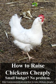 How to Raise Chickens Cheaply - Budget and time friendly tips for coop building, chicken care and raising homestead chickens for eggs.: