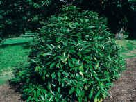 Aucuba japonica, Salicifolia, has long, mid green, evergreen leaves and bright red colored oval berries over the autumn and winter months. A good plant to use at the shady back of a border.