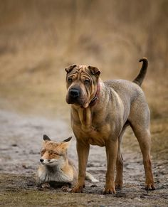 Shar Pei #Puppy #Dog #Dogs #Puppies #Sharpei