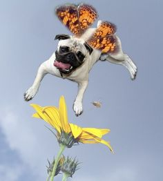 Pug Butterfly