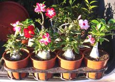 Rules of growing the desert rose (adenium) in a subtropical climate. Adenium care guide: essential care instructions and what makes the desert rose special?