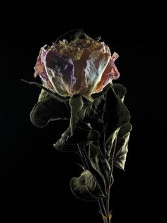 FLOWERS DRY625 Photography  Alexis Reynaud