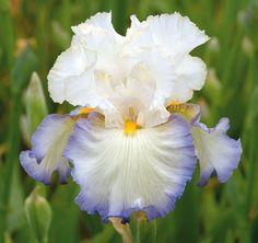 Revere, Tall Bearded Iris