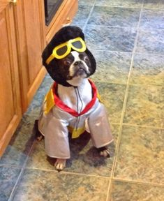 Elvis Presley Halloween Costume of a Boston Terrier! He Ain't Nothing but a Hound Dog! Check Out more Dogs Dressed up for Halloween! ► http://www.bterrier.com/?p=17459
