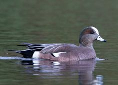 Male American widgeon. A common and increasingly abundant duck, the American Wigeon breeds in northwestern North America and is found throughout the rest of the continent in migration and in winter. Its small bill and the male's white forehead, as well as certain aspects of nesting and feeding behavior, distinguish this species from other dabbling ducks.