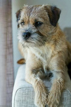 Border Terrier Puppy, Terrier Dogs, Terriers, Cute Puppies, Dogs And Puppies, Funny Dog Toys, Non Shedding Dogs, Dog Breath, Beautiful Dogs